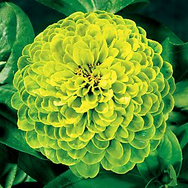 Plant Talk: green flowers