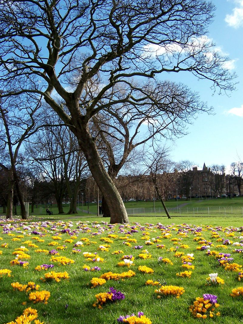 Edinburgh_Crocus2007
