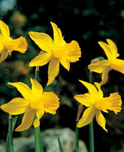 Narcissus_february-gold_01_VFS