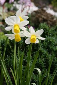 Narcissus_jack-snipe_01_VFS