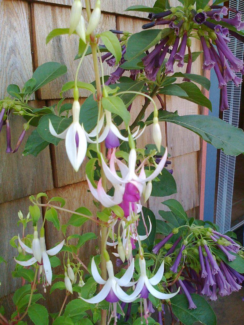 Fuchsia & iochroma 2