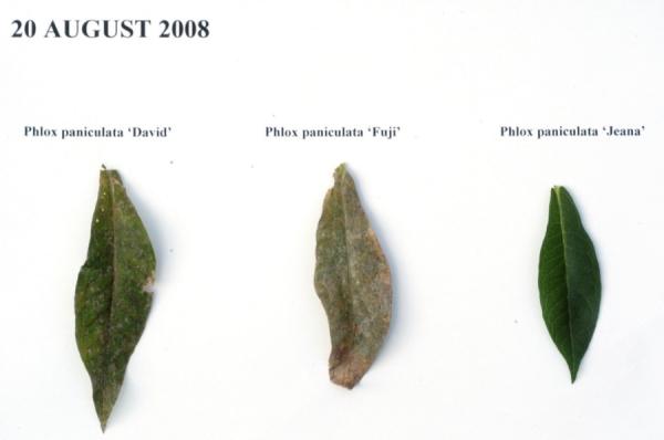 Phlox foliage