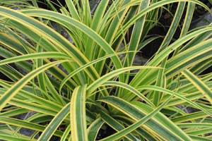 Carex-Rekohu-Sunrise-4