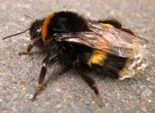 Bumblebee-onpavement