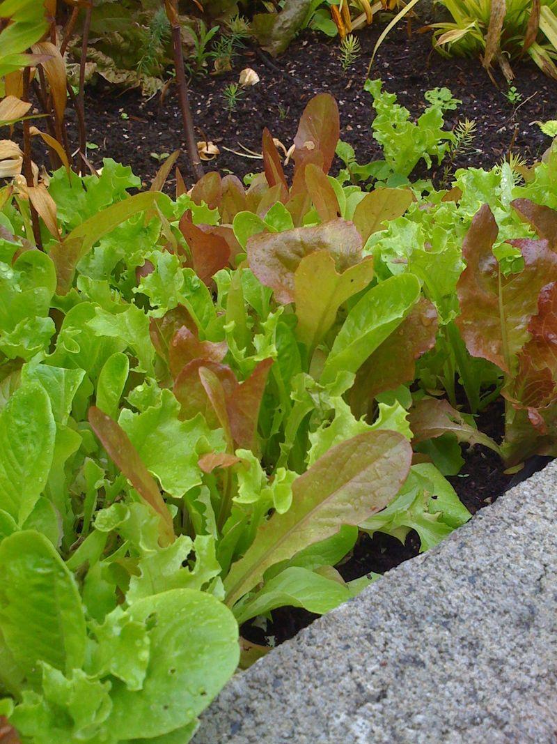Lettuce Sept