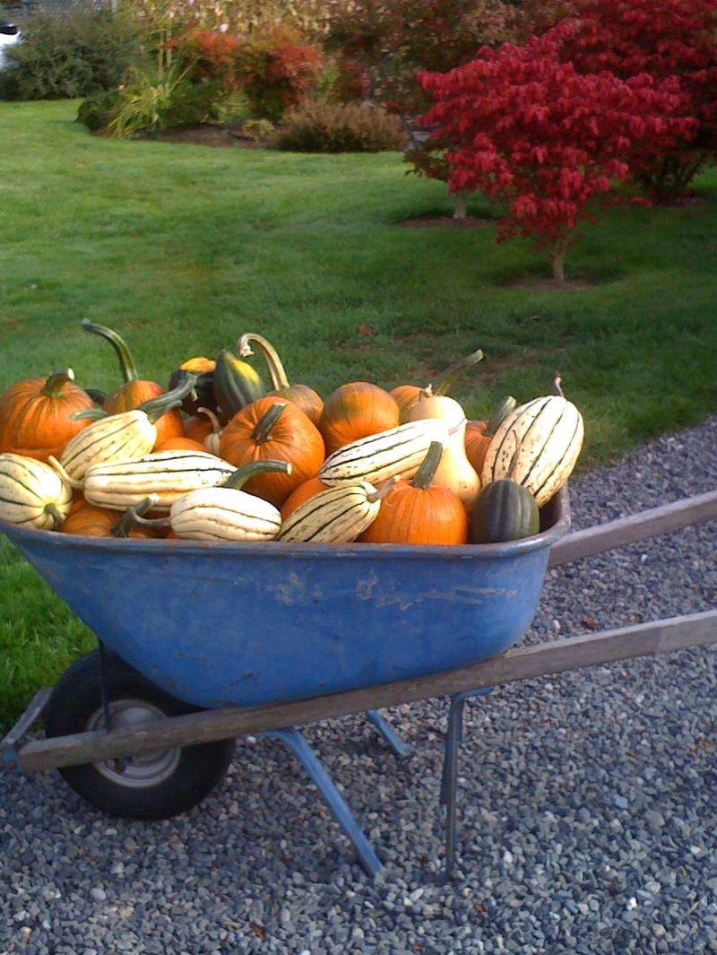 Dan pumpkins