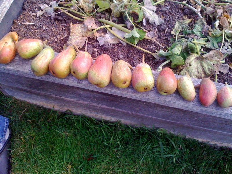 Dan pears