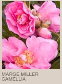 Camellia marge miller