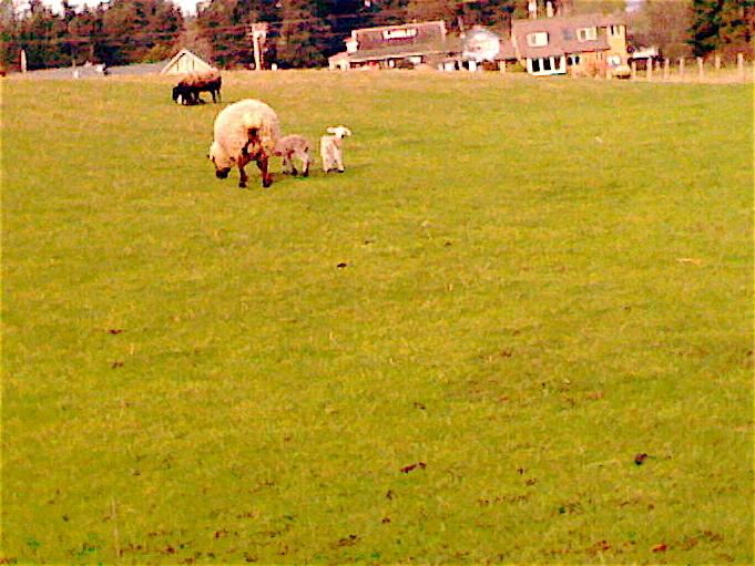 Lambs3