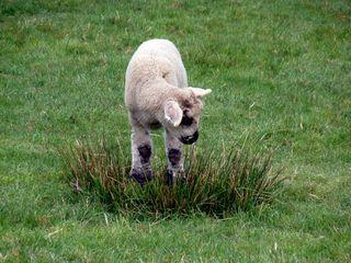 Single lamb