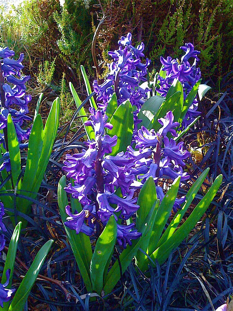 Hyacinths purple