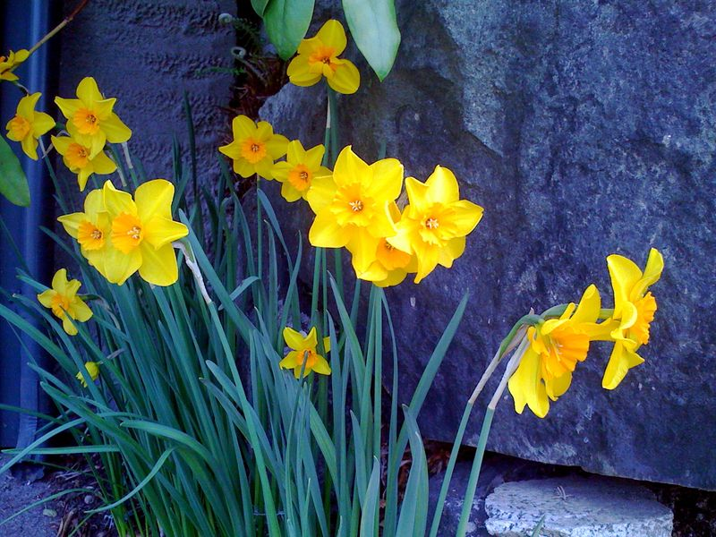 Narcissus bright