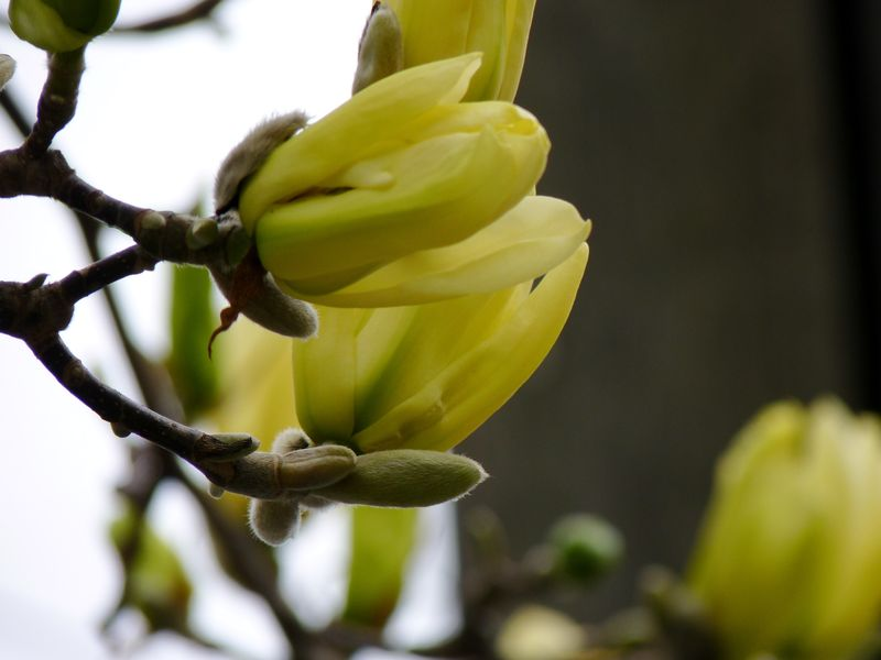 Magnolia yellow