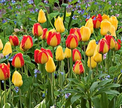 'Banja Luka' Darwin Hybrid tulip