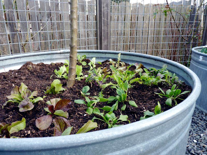 Lettuces 7
