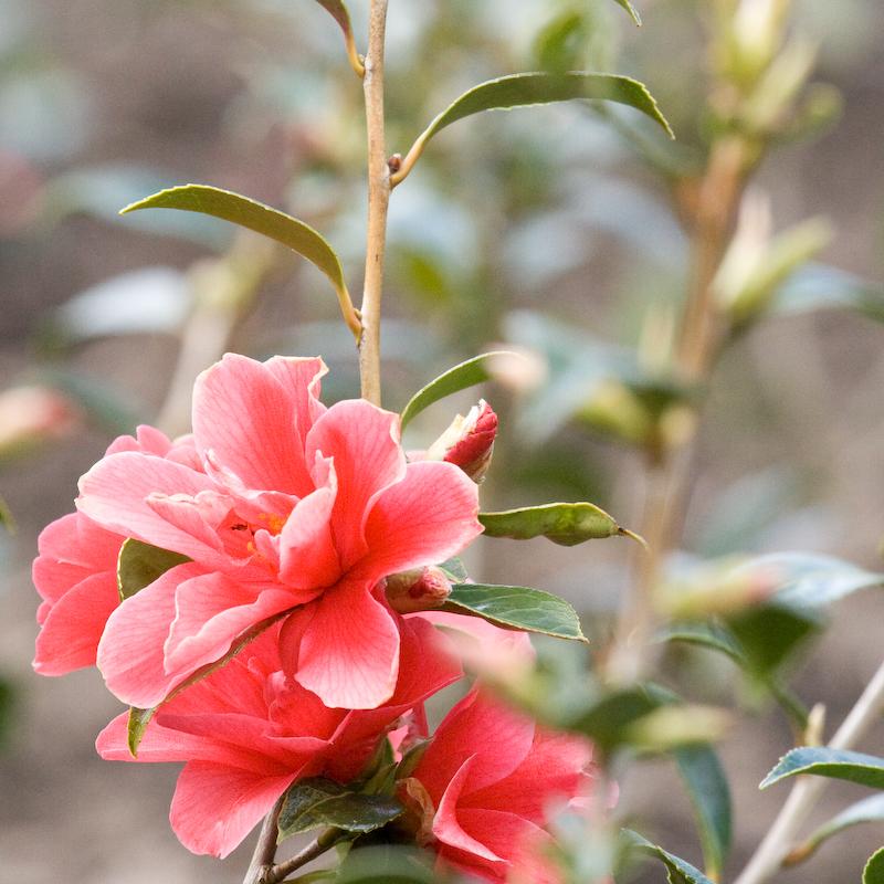Camellia E.