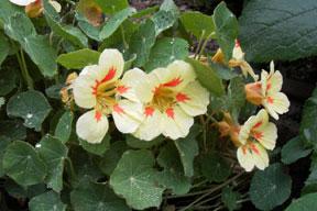 Nasturtium-vanillaberry1