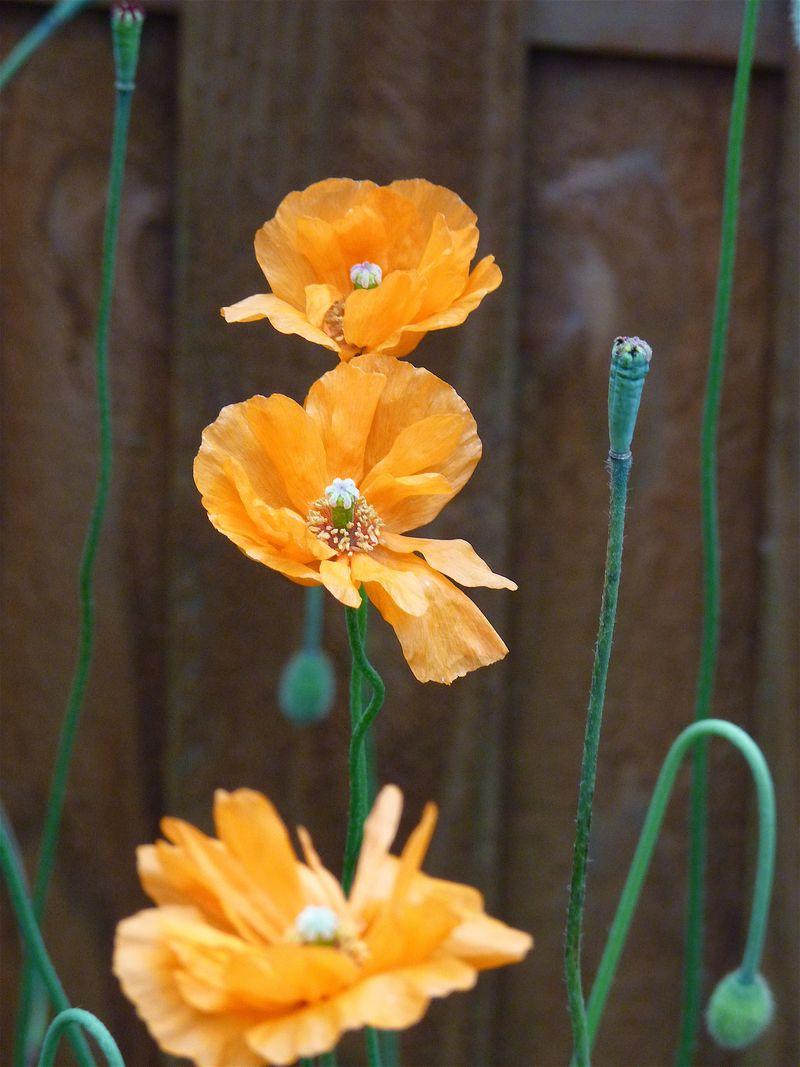 Poppies orange 2