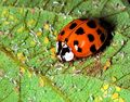 Lady beetle2
