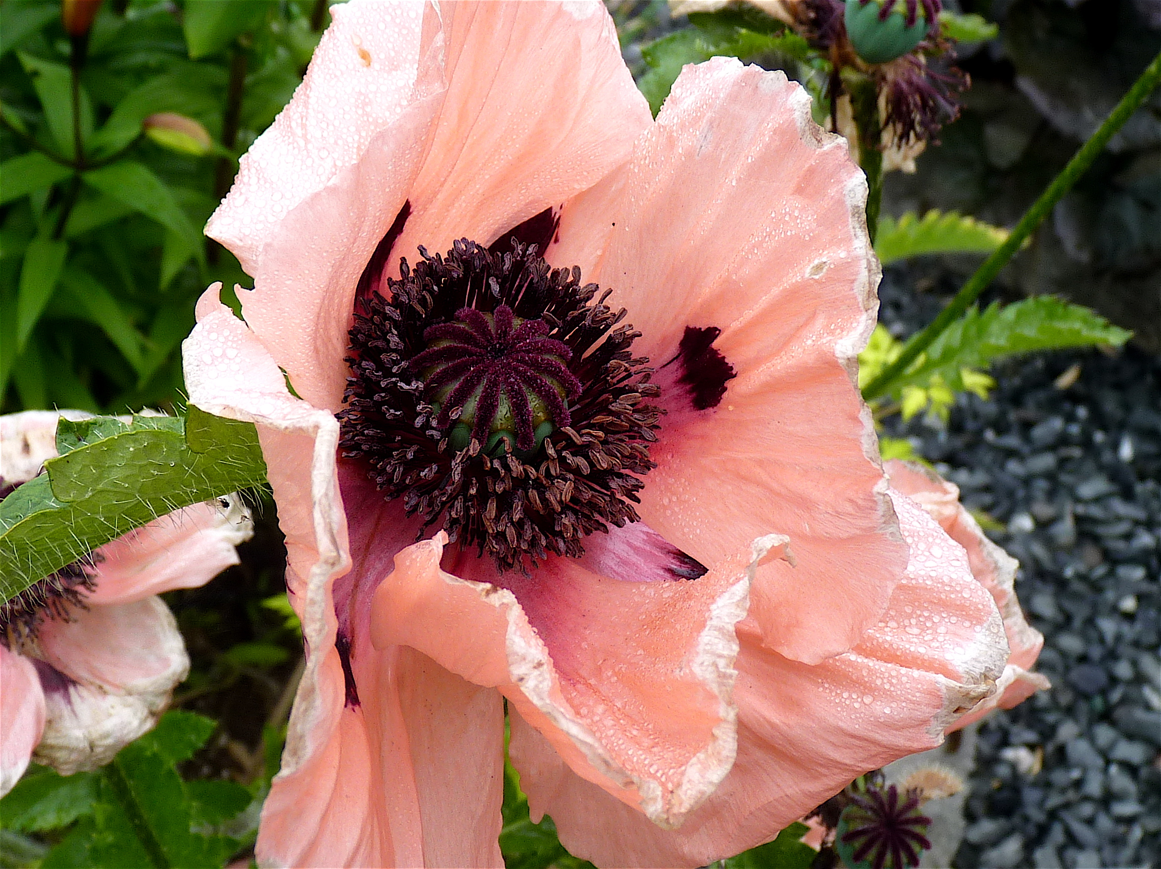 Plant Talk Now In Bloom Oriental Poppies