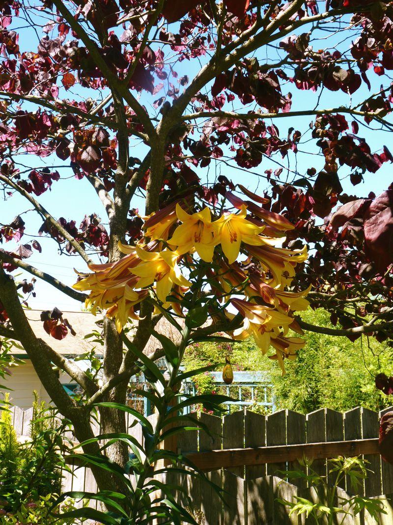 Dragon lilies