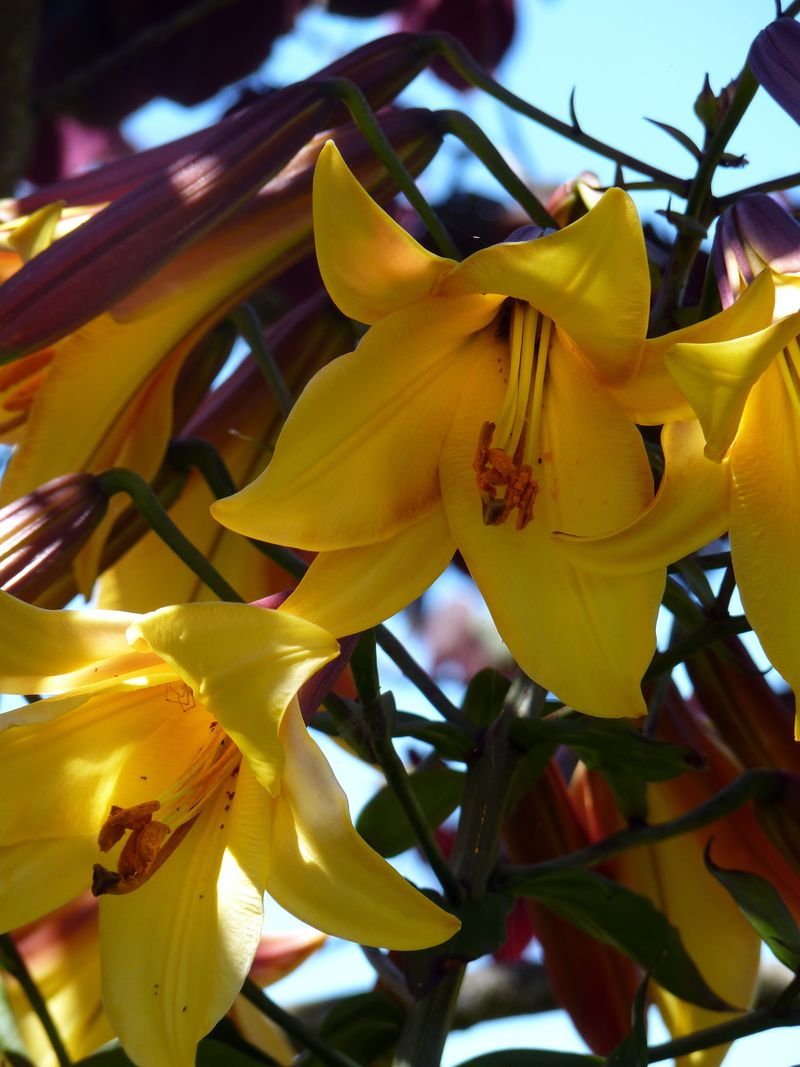 Dragon lilies2