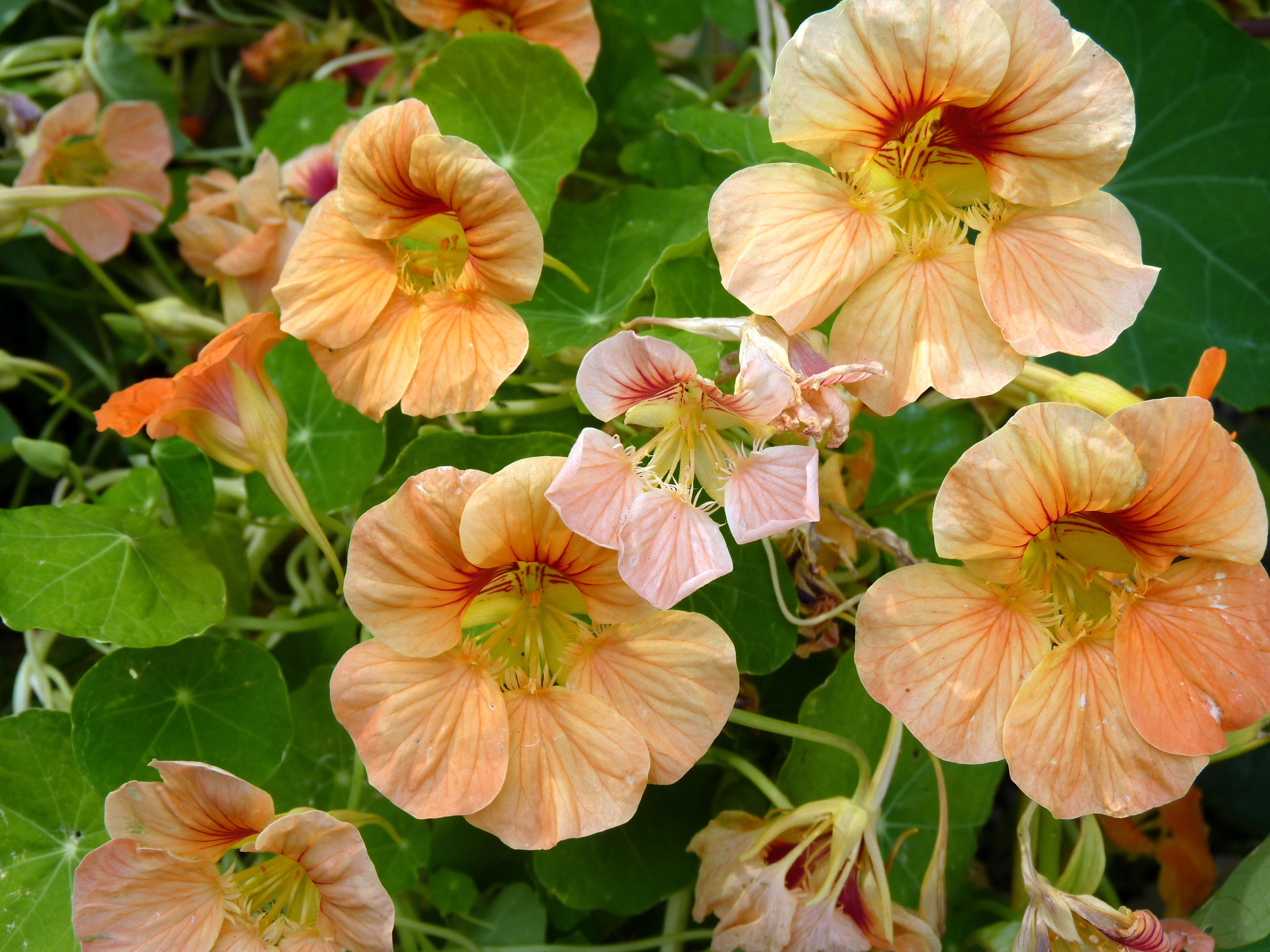 Plant Talk nasturtiums