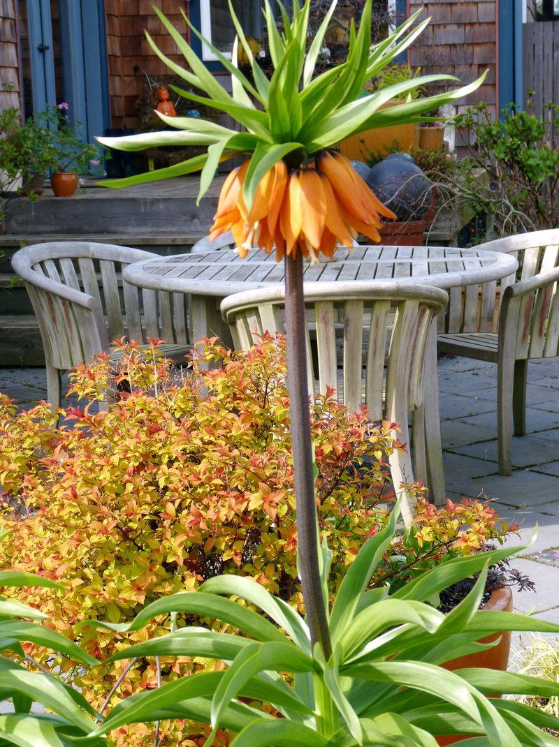 Fritillaria 1