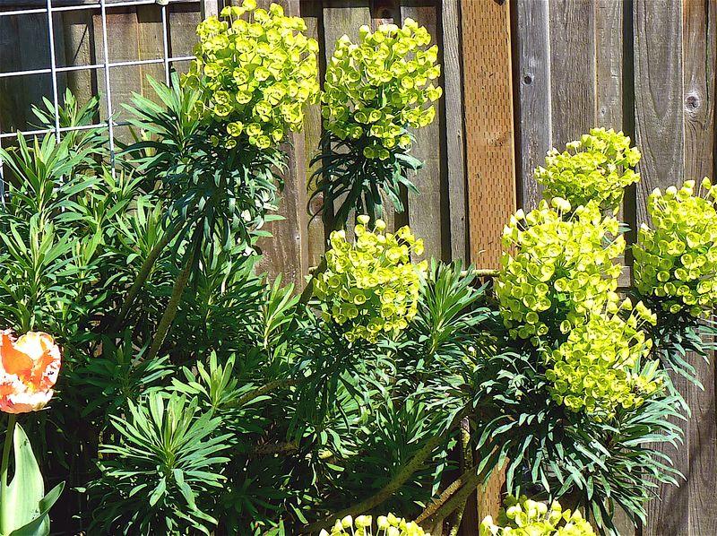 Euphorbia 2
