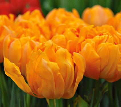 Tulips, orange