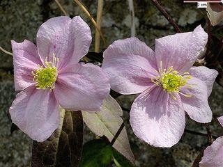 Clematis pink 1