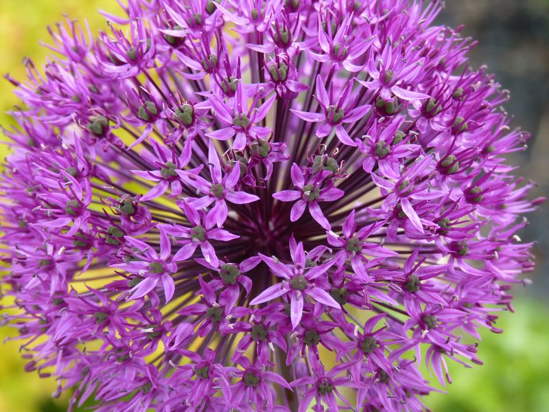Allium close up