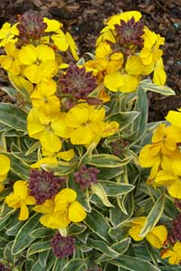 Erysimum-Fragrant-Star-2