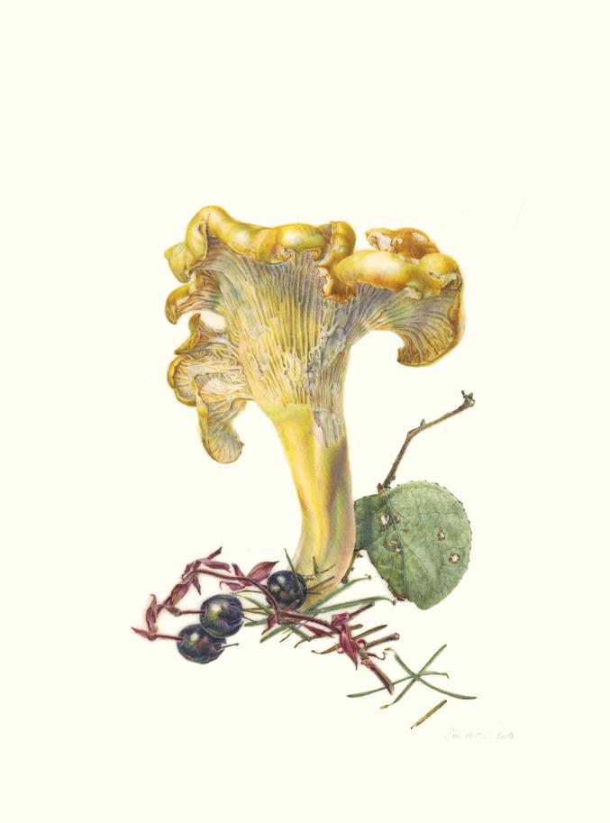Cantharellus formosus