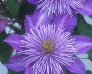 Clematis small