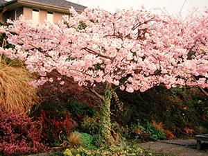 Prunus_yedo_akebono_01_VFS