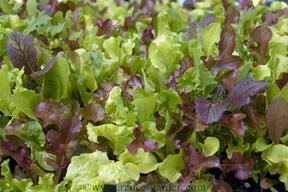 Lettuce-wine3