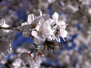 Prunus_berry_cassnow_01_VFS