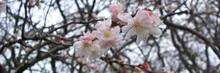 Winter_floweing_cherry