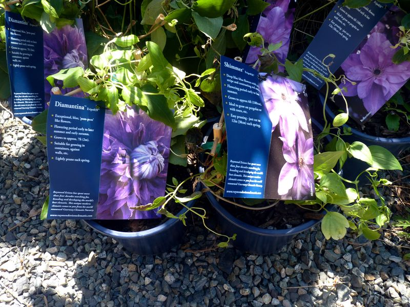 Clematis collection