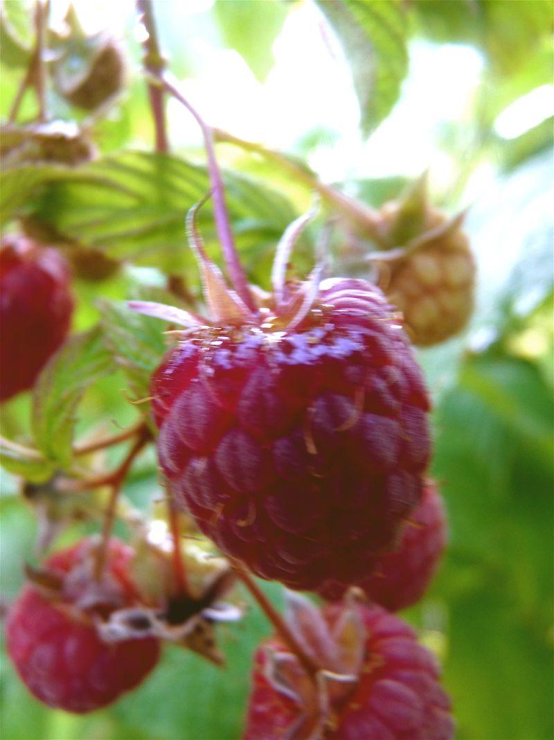 Raspberry 9