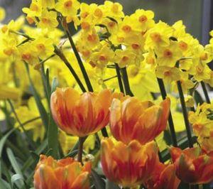 Tulips:daff