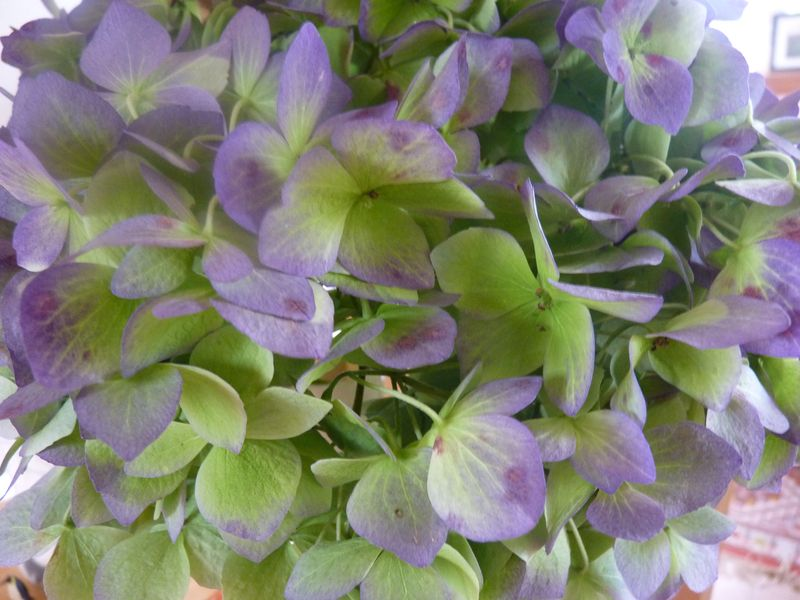 Hydrangea dried