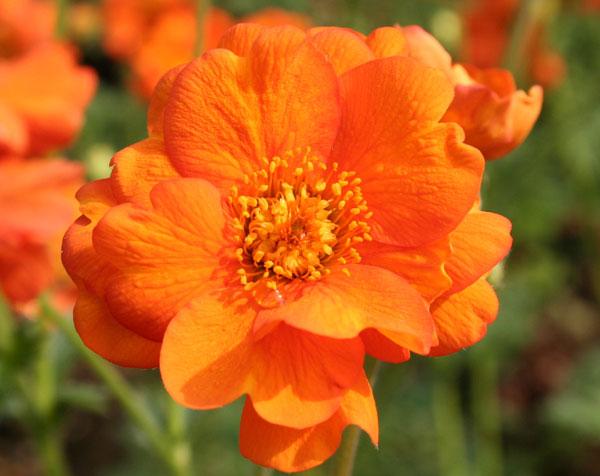 Geum orange