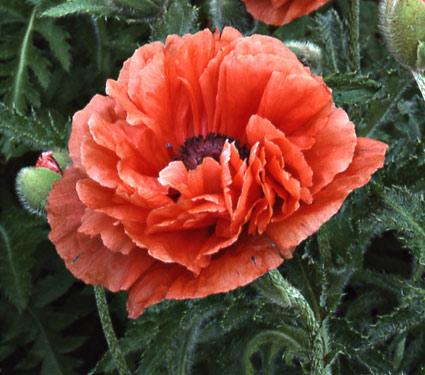Plant talk white flower farm the garden book for summer 2012 is a poppy salmon mightylinksfo