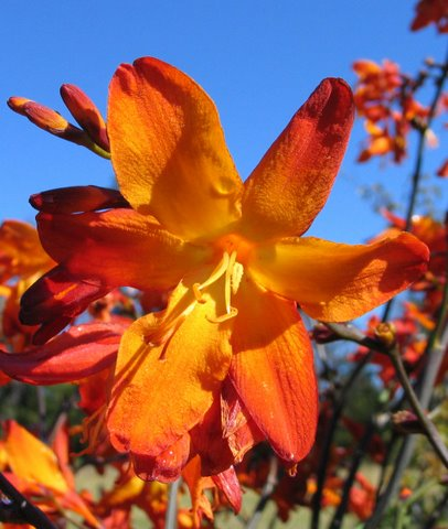 Crocosmia-his-majesty-8
