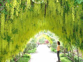 Laburnum Arbor 2005