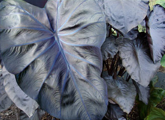 Black colocasia