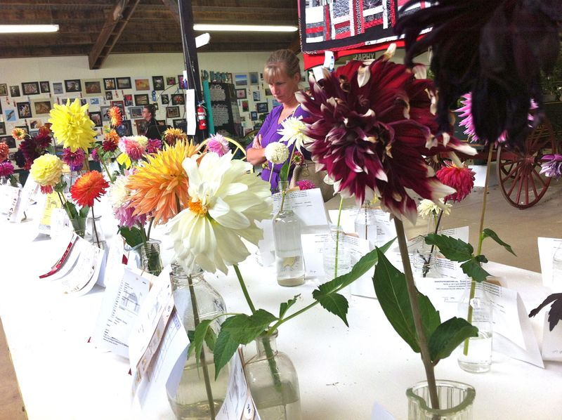 Fair dahlias