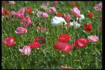 Poppy-shirley2